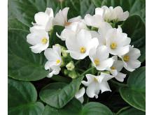 Lucka nr 8 - Vit Saintpaulia i en Blomstrande Julkalender