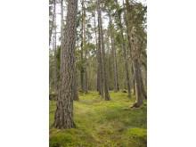 Trädens ålder och höjd och skogens gleshet är viktiga faktorer i hur rehabvänlig skogen är.