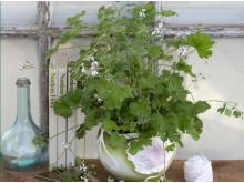 Muskotpelargon / Marias blomma  Pelargonium x fragrans Grönt Kulturarv U-40