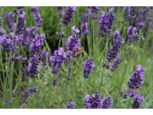 Lavendel i Bergianska