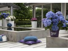 Forever&Evers trädgårdshortensia klarar kalla temperaturer