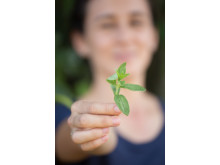 Stevia plan in hand