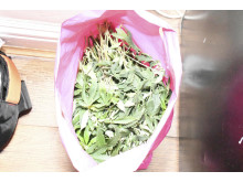 Cannabis farm found in Allerton