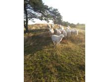 MENY Rønde sælger nationalpark-lam