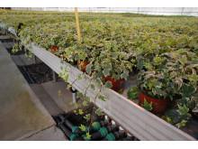 Fra gartneriet: Produksjon av eføy