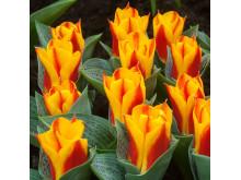 Tulipa Bonbini