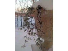Träsgårdsurna med frusen murgröna