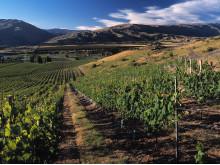 Vinrankor hos Akarua, Nya Zeeland