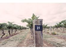 Wynns Coonawarra Estate vineyard
