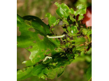 Frostmätarlarver (Operophtera brumata) på ekblad.