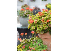 Pelargonium Brocad ´Fire´