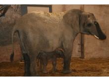 Elefantfödsel i Borås Djurpark 2