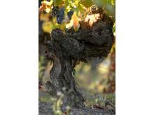 100- vuotta vanha viiniköynnös Santa Helena, Colchagua Valley Chile
