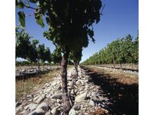 stones in vineyard