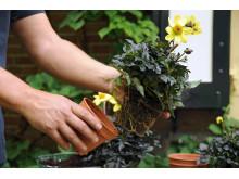 Samplantering av mörkbladig dahlia - steg 3