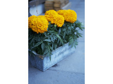 Stor tagetes, orange 1