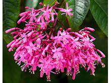 "Fuchsia Censation® ""Juice Berry"" - Fuchsia arborescens"