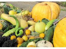 Gurkor, pumpor och squash