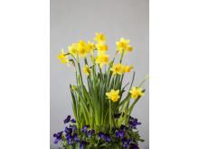 Påskeliljer med viola