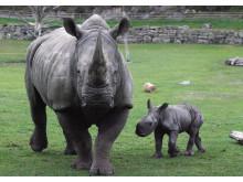 Noshörningsfödsel på Borås Djurpark