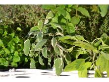 Blandade kryddväxter