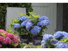 Forever&Ever Blue - perenn trädgårdshortensia som klarar kalla vintrar