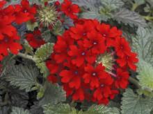 Verbena Lanai Red 07