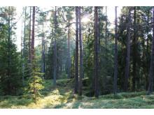 Barrblandskog