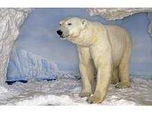 Polartrakterna: Isbjörn