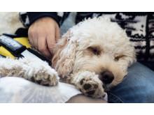 Terapihunden Stella