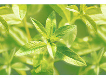 Un Matin au Jardin – Verbena Leaves