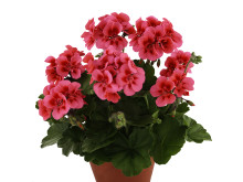 Pelargonium-zonale-Dolce-Vita-DCM-Coral-Eye_34917_1