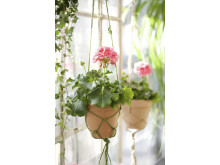 Pelargon Tango 'Candy rose'