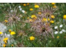Blomstereng på 2600 m o h