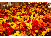 Flere end 10.000 blomster efterårspynter Bakken
