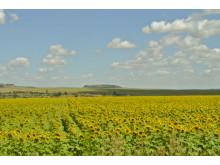 Solrosfält i Sydafrika