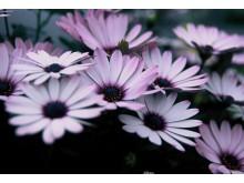 Stjärnöga Osteospermum ecklonis Serenity Lavender Frost