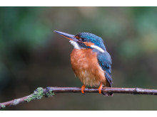 ©Gustav Kiburg_Netherlands_SonyNature_Kingfisher1