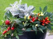 Prydpepper og sølvkrans gir frisk blomstring i krukker om høsten
