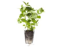 Mynta (Mentha spicata)