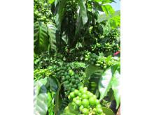 Kaffebuske