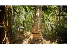 Træet er inden fældning ryddet for lianer og andre vækster, som vil kunne rive flere træer med under fældningen.
