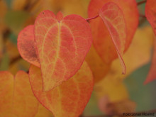Hjertetre gir nydelige høstfarger