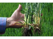 Moddus Start - ny produkt för tidig växtreglering