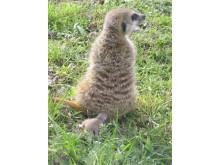 Stolta surikatmamman Tilda visar upp sina nya ungar