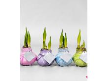 Amaryllis Waxz® Pastel Art