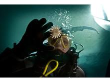 Dykare möter sjöstjärna på Havets Hus
