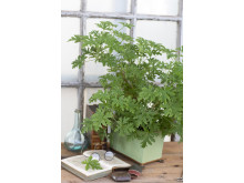 2 Dr Westerlunds Blomma / Rosengeranium, Pelargonium Doftpelargon-Gruppen 'Graveolens' Grönt Kulturarv G358
