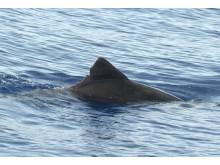 """Patenschaftsdelfin """"Triangulo"""" - Rauzahndelfin"""