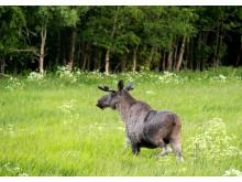 Elgjakt  - elg